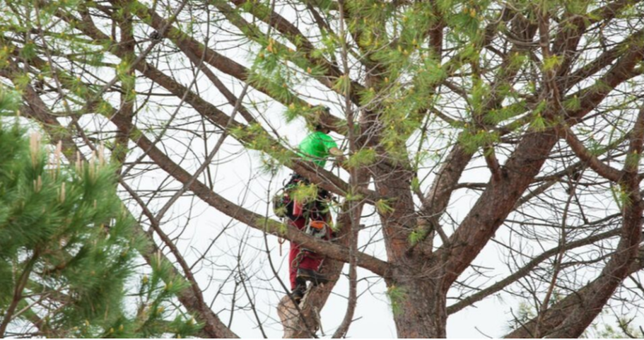 Climber of Emondage Boucherville working at height in a pine tree.